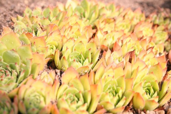 succulentsheader