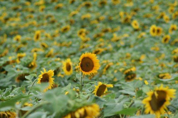 Sunflowerbanner