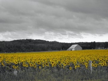 Sunflower and barn ~For The Love of Expression